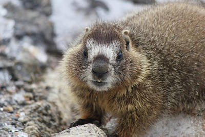 Photograph - Mr. Marmot by Marie Leslie