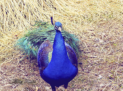 Photograph - Mr. Peacock by Melissa Messick
