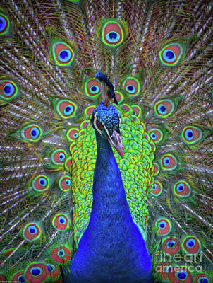 Photograph - Mr, Peacock by Mitch Shindelbower