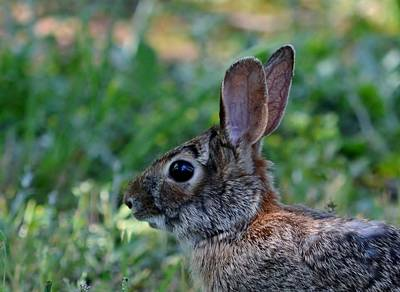 Photograph - Mr. Peter Cottontail by Eileen Brymer