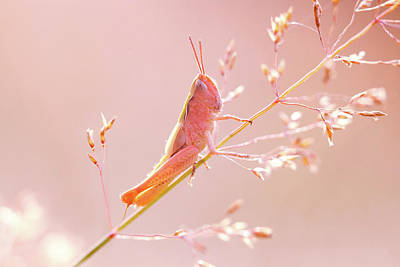 Locust Photograph - Mr Pink - Pink Grassshopper by Roeselien Raimond