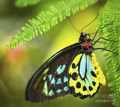 Photograph - Mr. Richmond Birdwing by Mary Lou Chmura