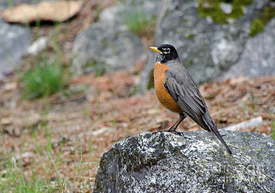 Photograph - Mr Robin by Debby Pueschel