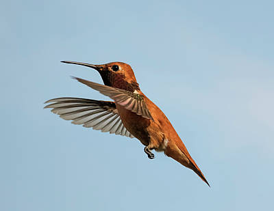 Photograph - Mr. Rufous by Loree Johnson