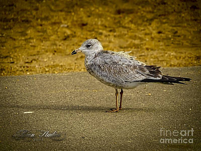 Photograph - Mr. Seagull by Melissa Messick