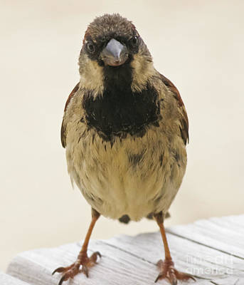 Photograph - Mr Sparrow by Terri Waters