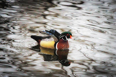Photograph - Mr. Wood Duck by Juli Ellen
