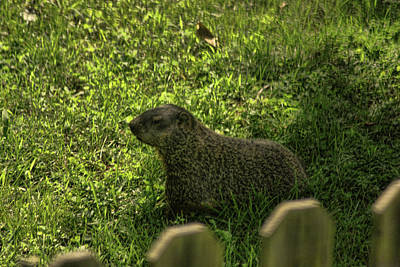 Photograph - Mr Woodchuck by Rick Friedle