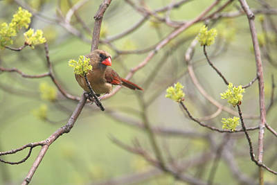 Photograph - Mrs. Cardinal And Spring Buds by Living Color Photography Lorraine Lynch
