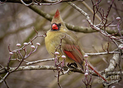 Photograph - Mrs Cardinal by Douglas Stucky
