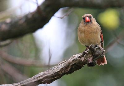 Photograph - Mrs. Cardinal by Living Color Photography Lorraine Lynch