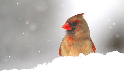 Photograph - Mrs. Cardinal Playing In The Snow by Living Color Photography Lorraine Lynch