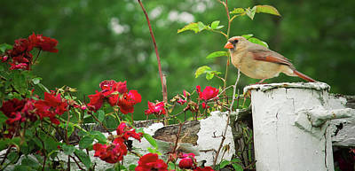 Photograph - Mrs. Cardinal by Virginia Folkman