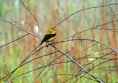 Photograph - Mrs Goldfinch Takes A Break by Wild Thing