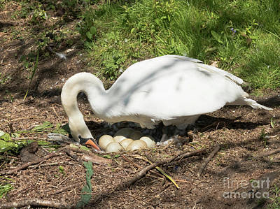 Photograph - Mrs Mylor Swan And Her Eggs by Terri Waters