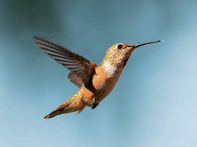 Photograph - Mrs. Rufous by Loree Johnson