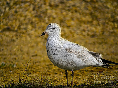 Photograph - Mrs. Seagull by Melissa Messick
