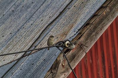 Photograph - Mrs Sparrow by Alana Thrower