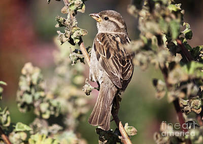 Photograph - Mrs Sparrow by Terri Waters