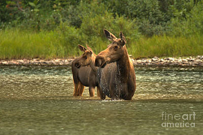 Moose In Water Photograph - Mrs Winkle And Bull Junior by Adam Jewell