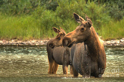 Moose In Water Photograph - Mrs Winkle And Junior Closeup by Adam Jewell
