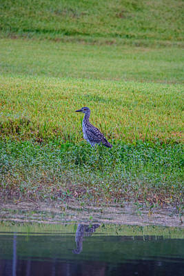 Photograph - Mrs Yellow-crowned Night-heron by Tikvah's Hope