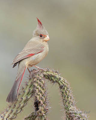 Photograph - Ms Pyrrhuloxia by Gerry Sibell