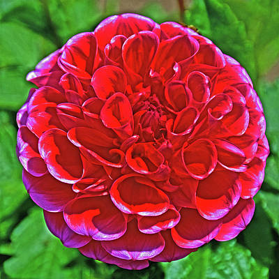 Photograph - Ms. Zelda Ball Dahlia In Golden Gate Park In San Francisco, California by Ruth Hager