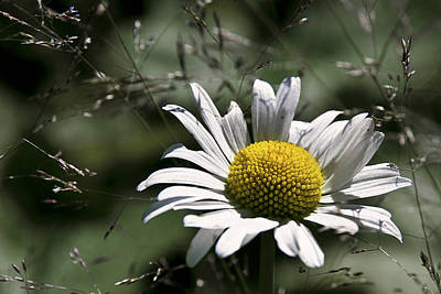 Photograph - Mt Baker Daisy by Wes and Dotty Weber