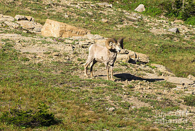 Photograph - Mt Big Horn Sheep by Louise Magno