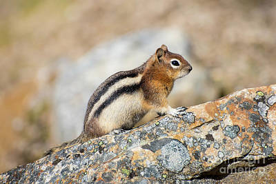 Photograph - Golden-mantled Ground Squirrel by Bianca Nadeau