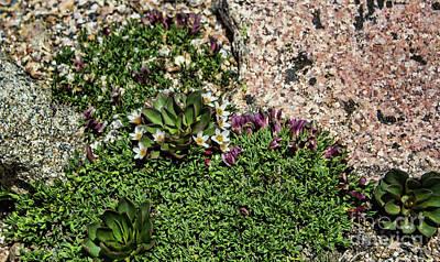 Photograph - Mt Evans Flora by Steven Parker