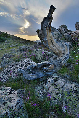 Photograph - Mt. Goliath Bristlecone Pine At Sunset by Ray Mathis