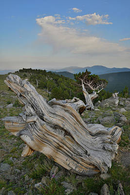 Photograph - Mt. Goliath Bristlecone Pines by Ray Mathis