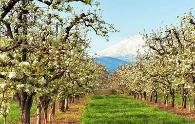 Photograph - Mt. Hood And Blooming Orchard by Dee Browning