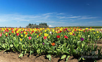Photograph - Mt Hood Tulips by Louise Magno
