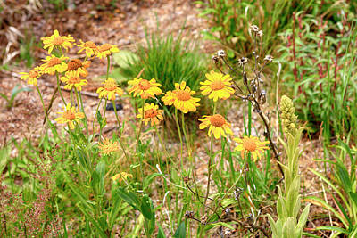 Photograph - Mt Lemmon Marigolds by Chris Smith
