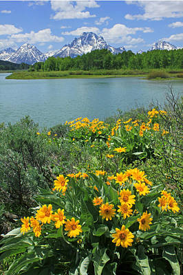 Photograph - Dm9225-mt. Moran And Arrowleaf Balsamroot  by Ed  Cooper Photography