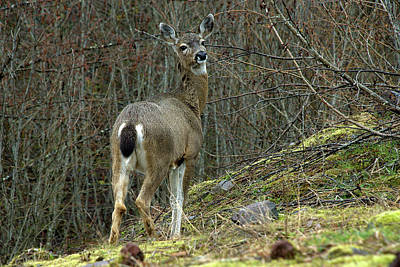 Digital Art - Mt. St. Helens Deer by Patrick Groleau
