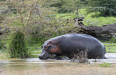 Photograph - Mud Bath by Mike Fitzgerald