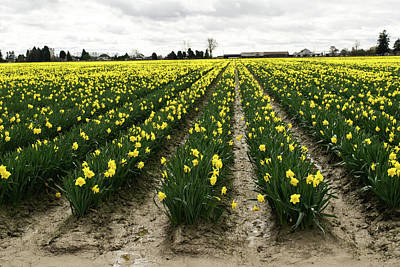Photograph - Mud Between The Daffodils by Tom Cochran