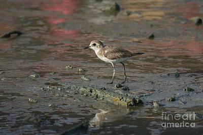 Mud Plover Light Art Print