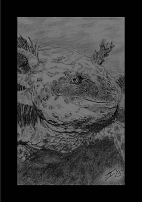 Salamanders Drawing - Mud-puppy001_15 by Steve Iacopetti