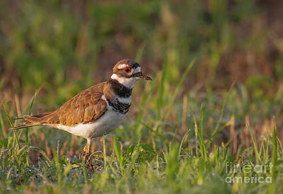 Photograph - Muddy Killdeer by David Cutts