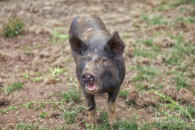 Photograph - Muddy Piglet by Patricia Hofmeester