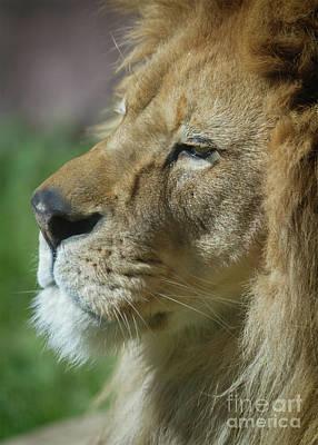 Photograph - Mufasa by Karen Jorstad