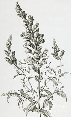 Floral Drawing - Mufle De Veau by Gerard van Spaendonck