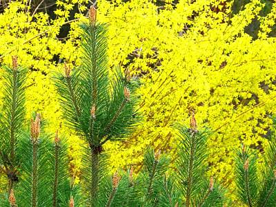Photograph - Mugo Pine And Forsythia by Will Borden