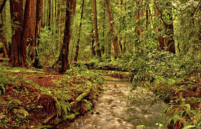 Photograph - Muir Creek, Muir Woods by Josephine Buschman