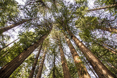 Photograph - Muir Redwoods Looking Up  by John McGraw